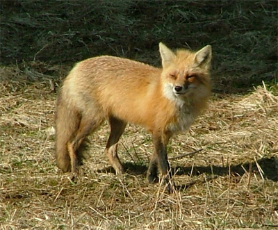 New England red fox