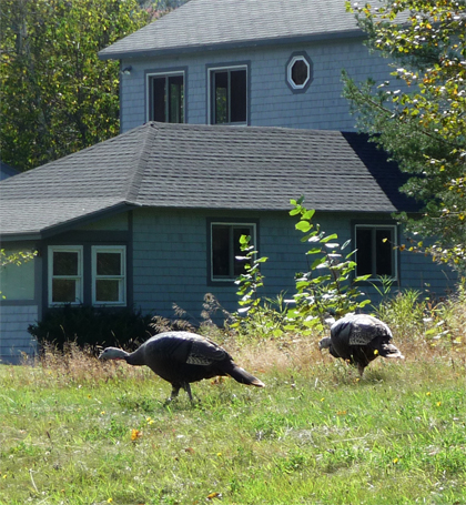 Wild turkeys in New Hampshire